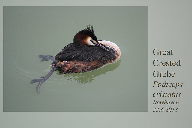 Great Crested Grebe - Newhaven - 22.6.2013