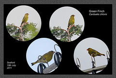 Green Finch collage Seaford 18 7 2011