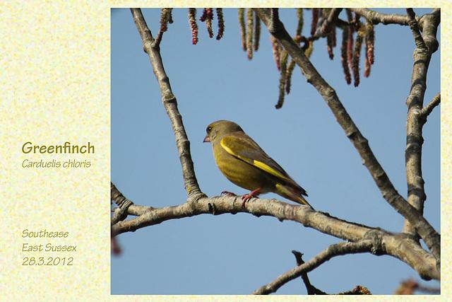 Greenfinch Southease 28 3 2012