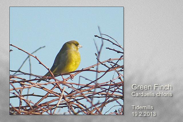 Greenfinch - Tidemills - 19.2.2013