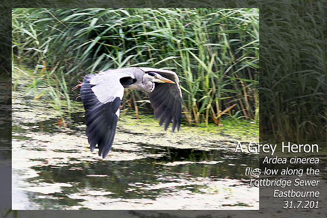 Grey Heron - Lottbridge - Eastbourne -  31.7.2013