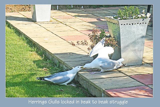Herring Gulls beak to beak - 20.4.2011