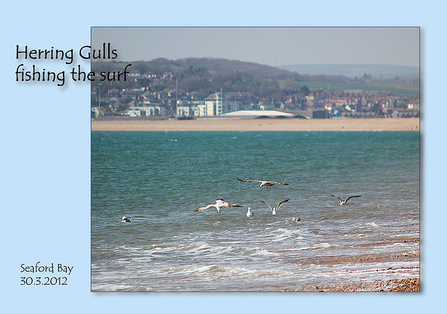 Herring gulls fishing at Seaford - 30.3.2012