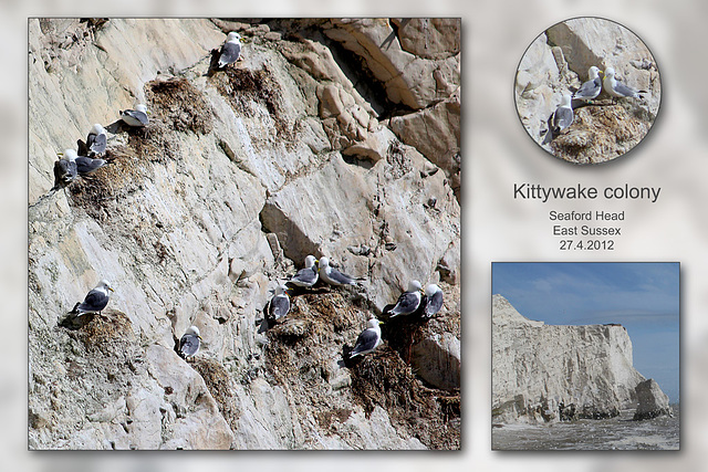 Kittiwake colony on Seaford Head - 27.4.2012