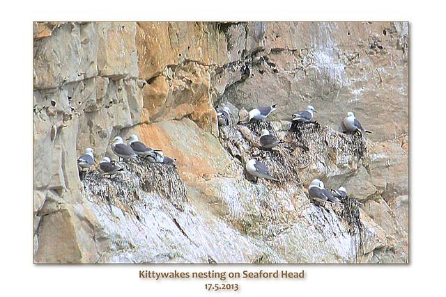 Kittiwakes nesting on Seaford Head - 17.5.2013