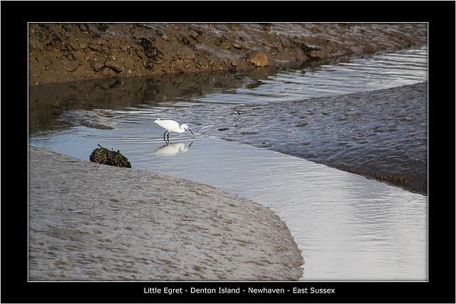 Little Egret Denton Island 25 10 2011