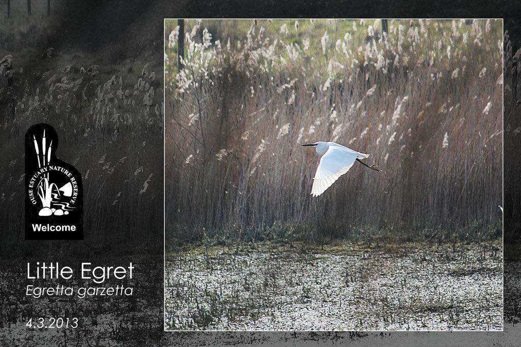 Little Egret OENR 4 3 2013