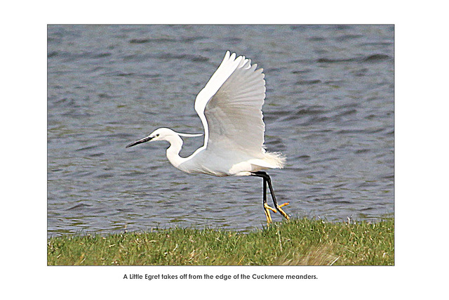 Little Egret takes off - Cuckmere - 25.4.2011