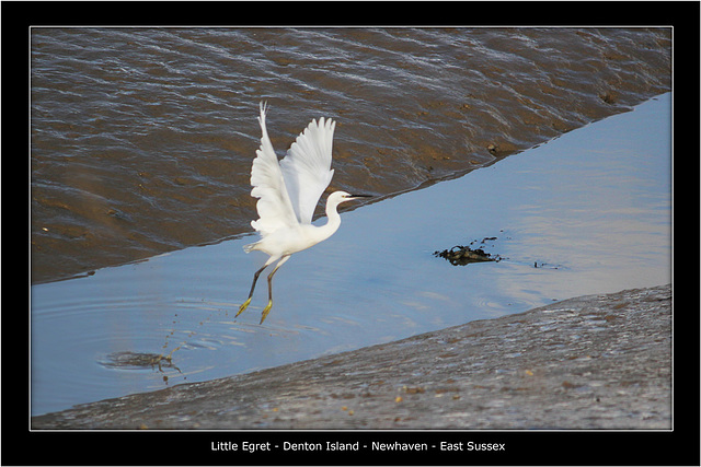 Little Egret takes off Denton Island 25 10 2011
