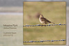 Meadow Pipit Cuckmere 23 2 2012