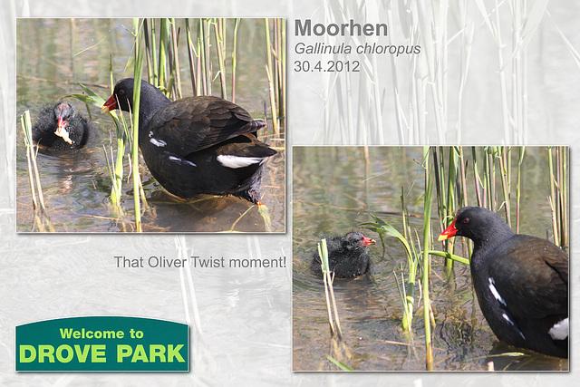 Moorhen & juvenile - Drove Park - Newhaven - 30.4.2012