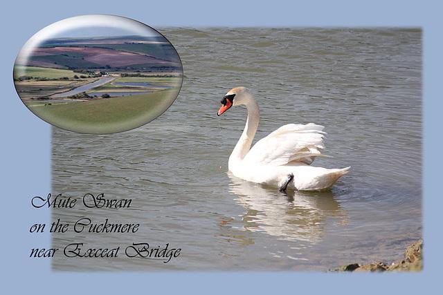 Mute Swan Exceat Bridge 11 3 2011