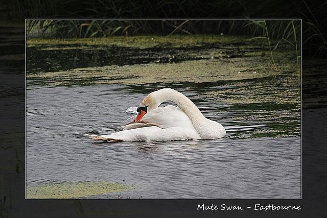 Mute swan Lottbridge 31 7 2013