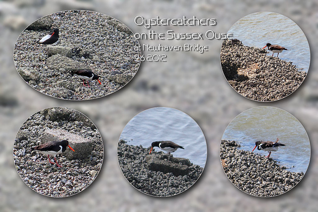 Oystercatchers - Newhaven - 9.6.2012