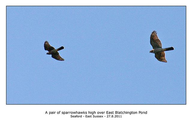 Sparrowhawks over East Blatchington Pond - 27.8.2011