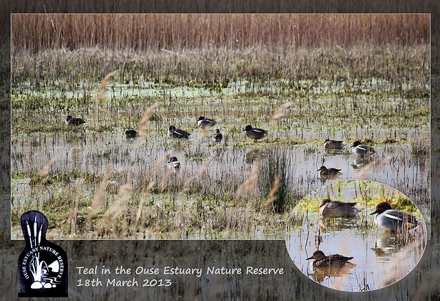 Teal in Ouse Estuary Nature Reserve - 18.3.2013
