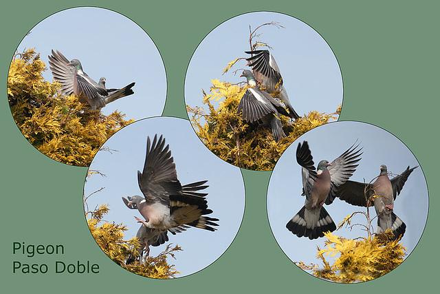 Wood Pigeon Paso Doble - 29.3.2011