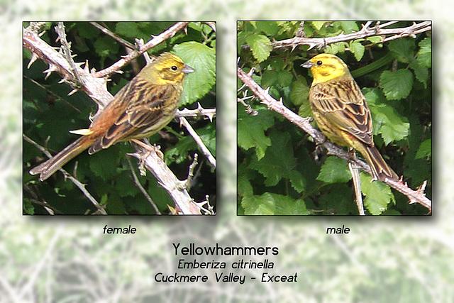 Yellowhammers pair Cuckmere 17 5 2011