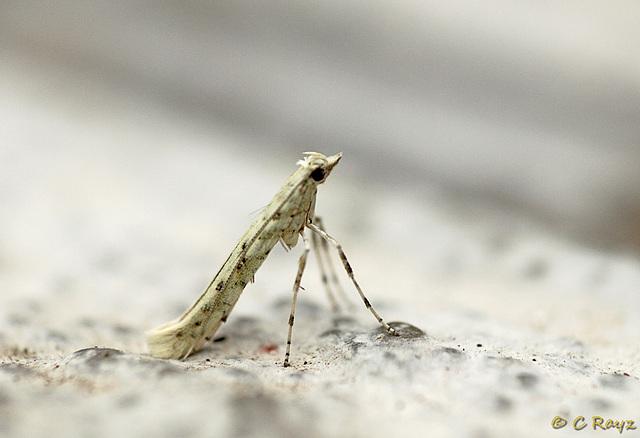 Caloptilia leucapennella