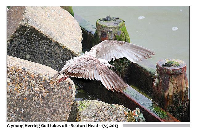 Young Herring Gull Seaford Head 17 5 2013
