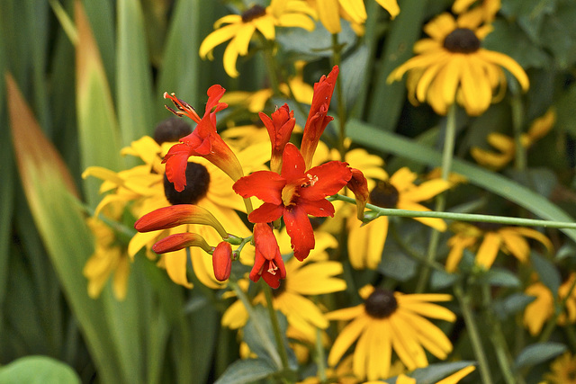"Crocosmia ""Lucifer"" – New York Botanical Garden, New York, New York"