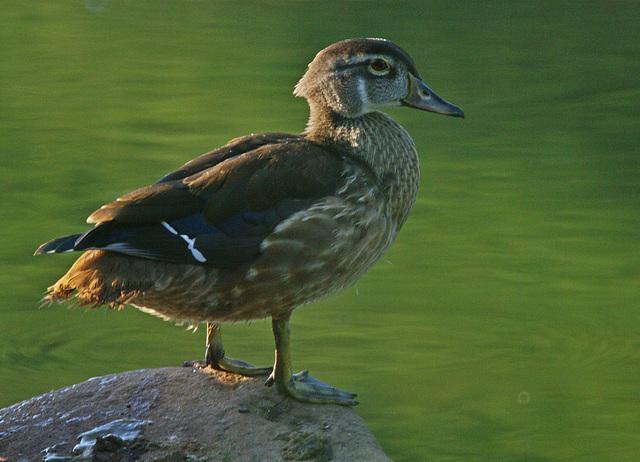 Young Wood Duck, Aix sponsa