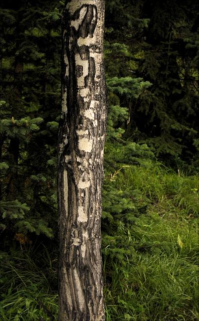 Poplar Bark 01 20130815
