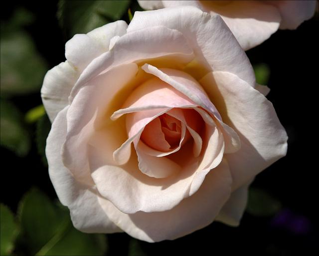 Rose 04 20130805