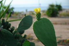 Une fleur de Cactus.