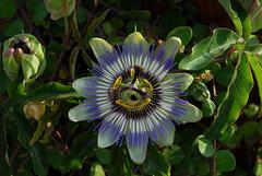 FREJUS: Une fleur des fruits de la passion.