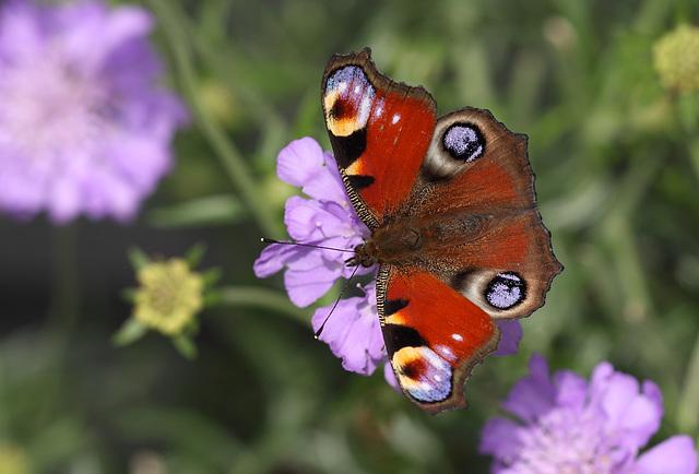 Peacock (Aglais io) butterfly
