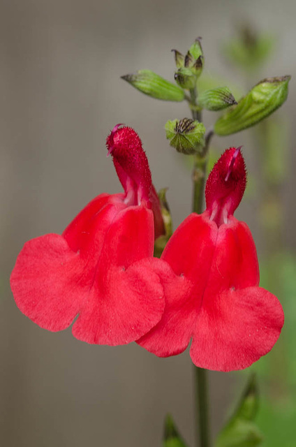 Ornamental Sage, '' Hot Lips''  (Salvia microphylla) (1 of 1)