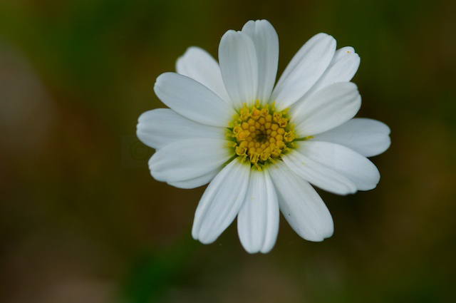 small marguerite