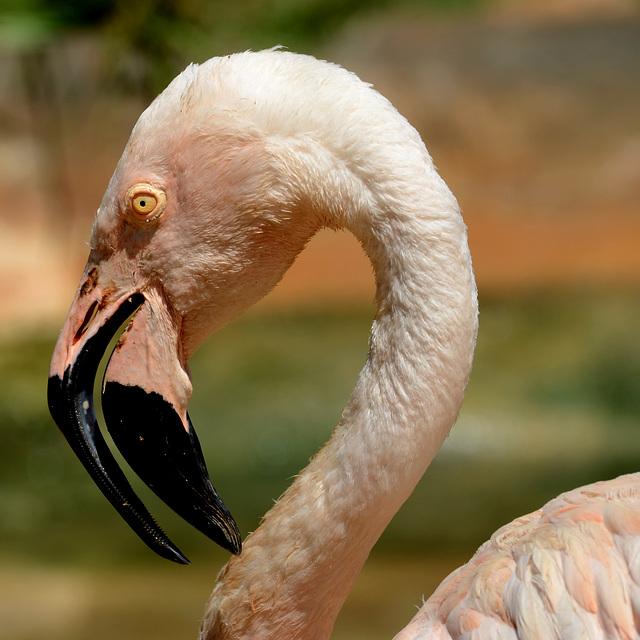 FREJUS: Zoo: Un Flamant rose (Phoenicopterus roseus).