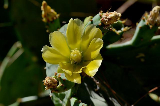 FREJUS: Une fleur de cactus.