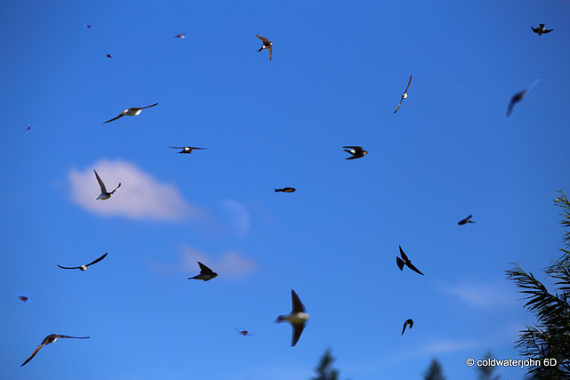 The sky was full this afternoon of house martins (?) gobbling up insects...
