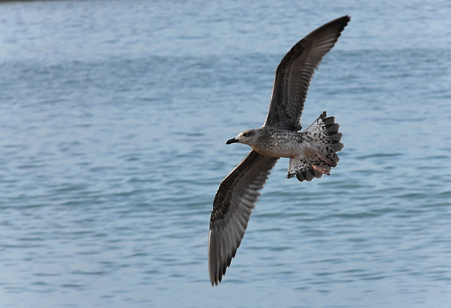 ST RAPHAEL: Un goéland en vol.