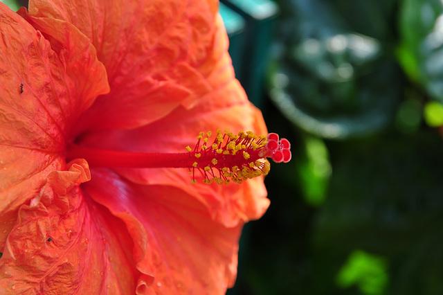 NICE: Parc Phoenix: Une fleur d'hibiscus.
