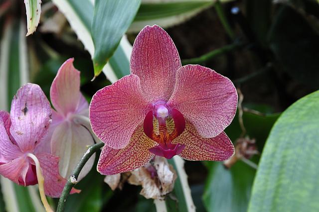 NICE: Parc Phoenix: Une fleur d'orchidée.
