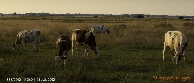 """kühe im teufelsmoor - cows in the """"teufelsmoor"""""""