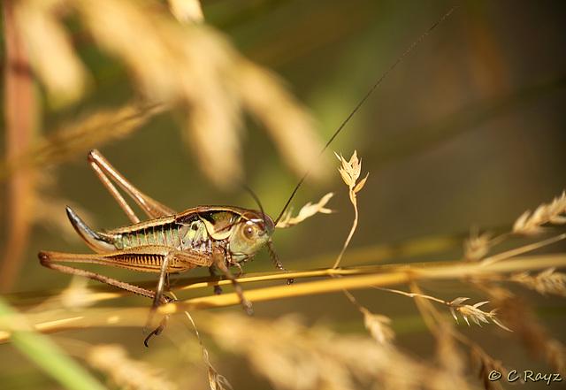 Rosel's Bush Cricket