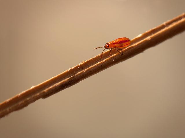 Small Milkweed Bug Nymph Heading Down