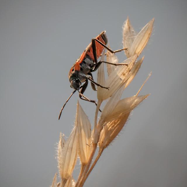 Small Milkweed Bug Heading Down