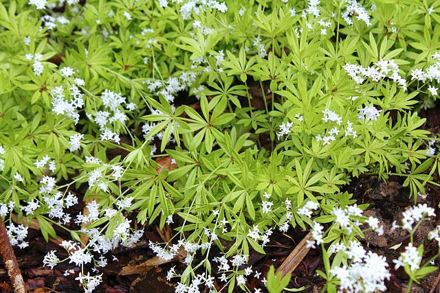 Galium odoratum aureum--Le Jardin de l'ivresse - Jardin 10