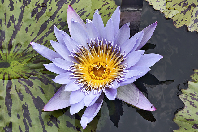 """Blue Spider"" Waterlily – New York Botanical Garden, New York, New York"