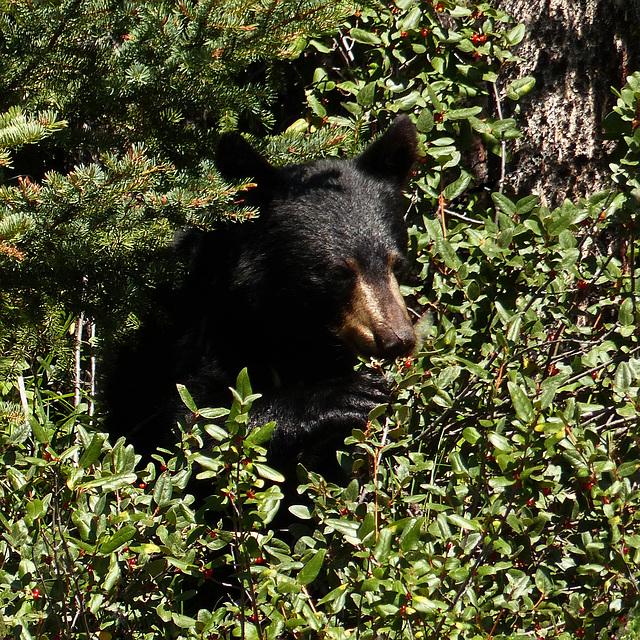 Black Bear feeding on Canada Buffaloberries