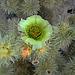 Teddy bear cholla flower