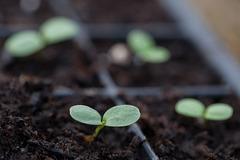 Zinnia Flower Seedlings: The Race Begins!