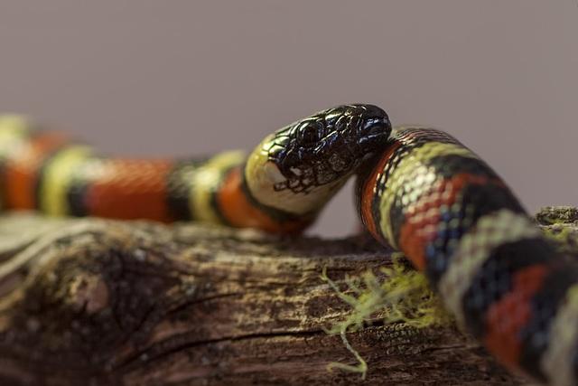 California Mountain Kingsnake: Snakey Portrait
