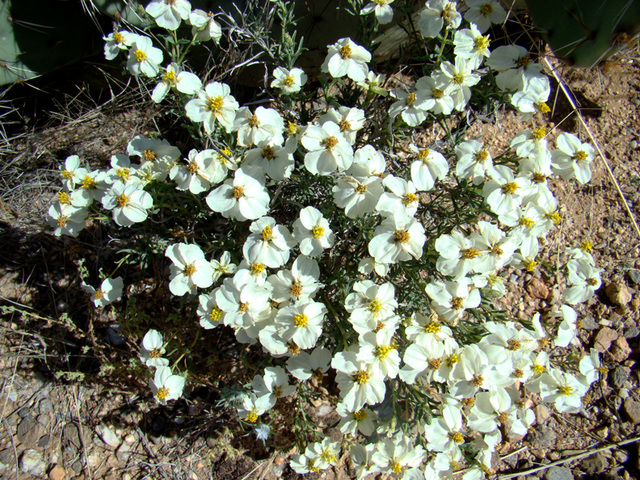Ipernity white desert flowers by ceropegia white desert flowers mightylinksfo